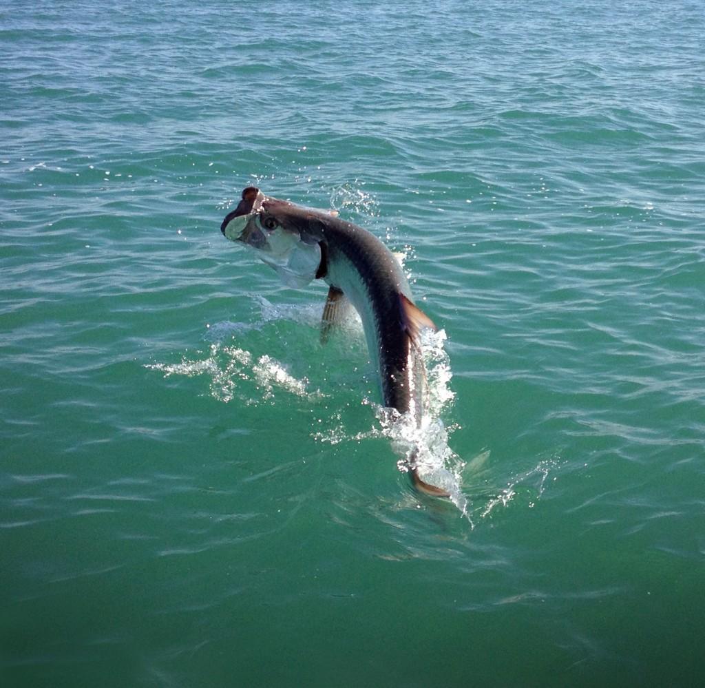 Tarpon fishing charters sanibel island fishing charters for Tarpon fish pictures