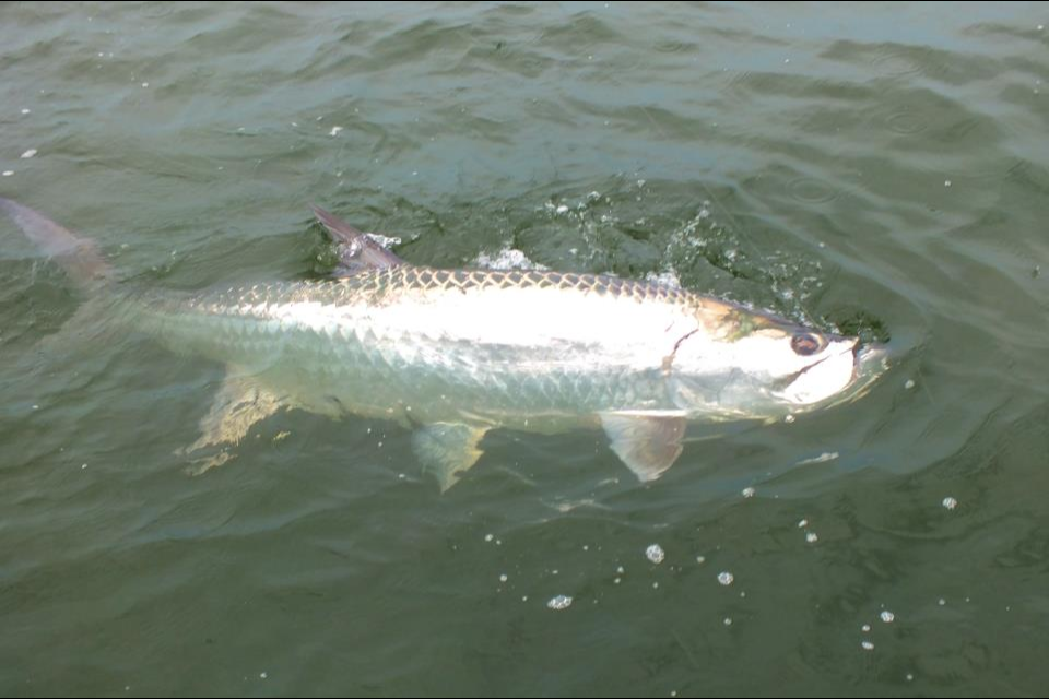 sanibel-fishing-charters-tarpon-1