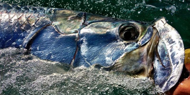 sanibel-fishing-charters-tarpon-fish