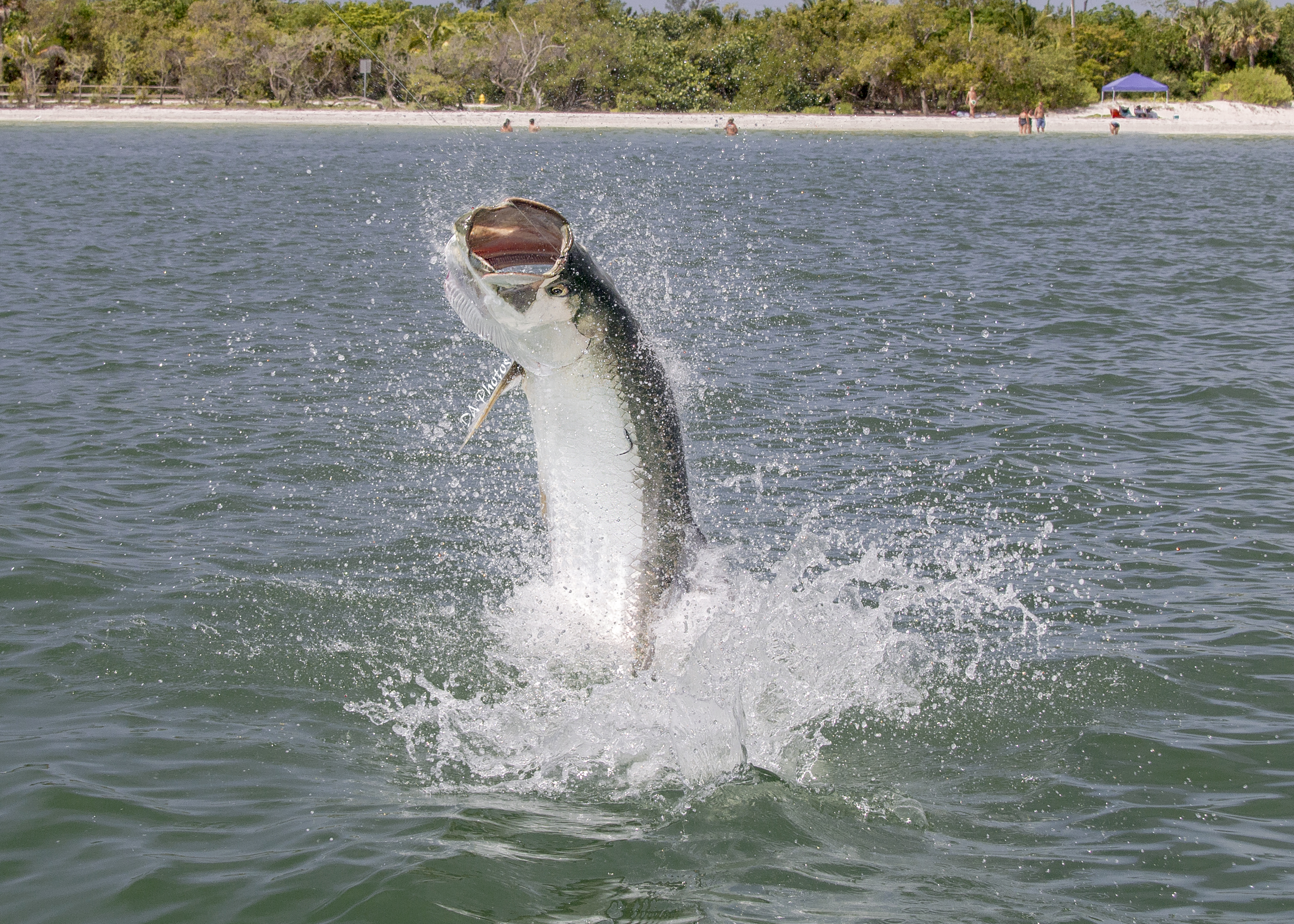 Fishing report sanibel island fishing fort myers for Tarpon fishing charters