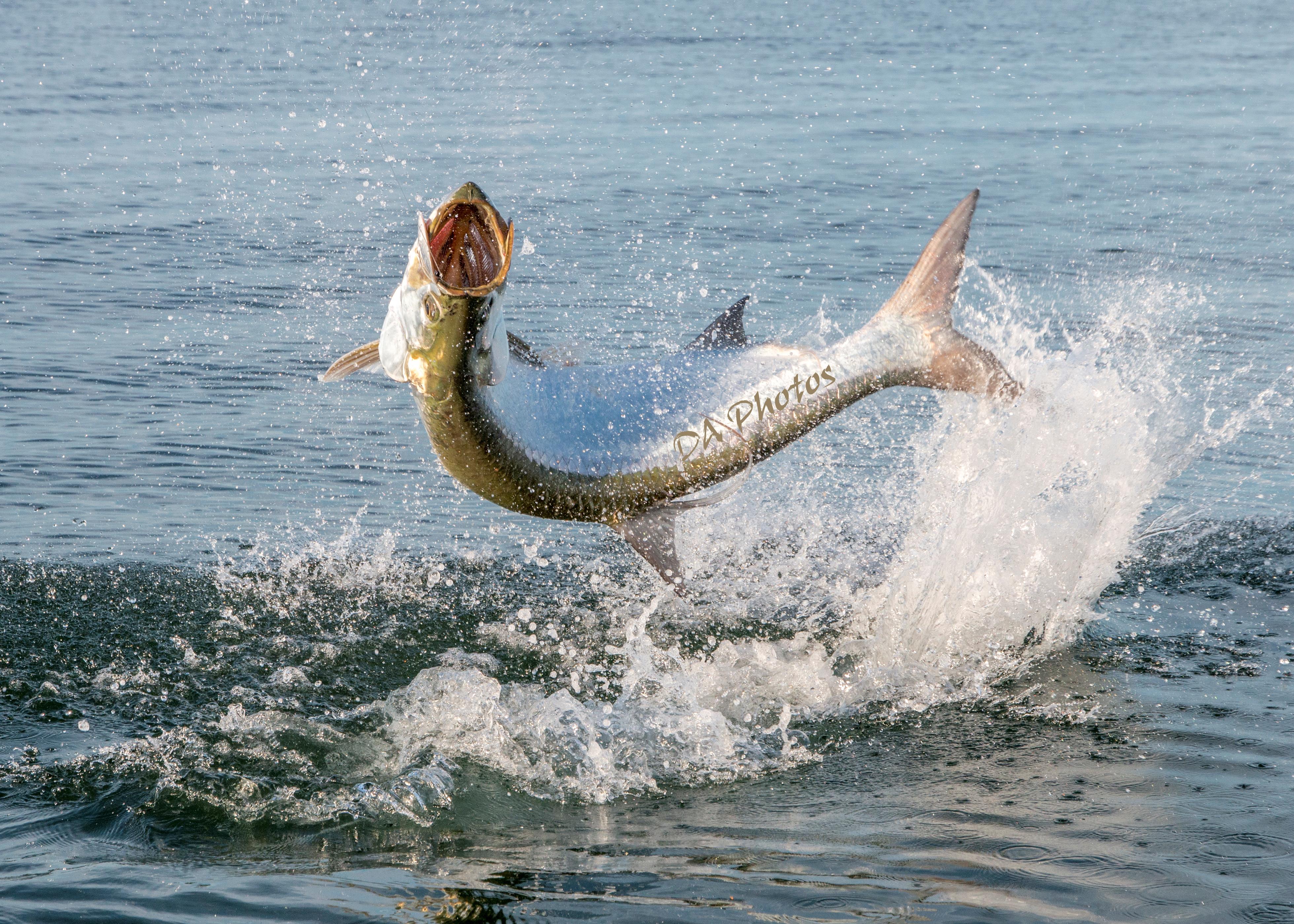 Sanibel Tarpon Fishing