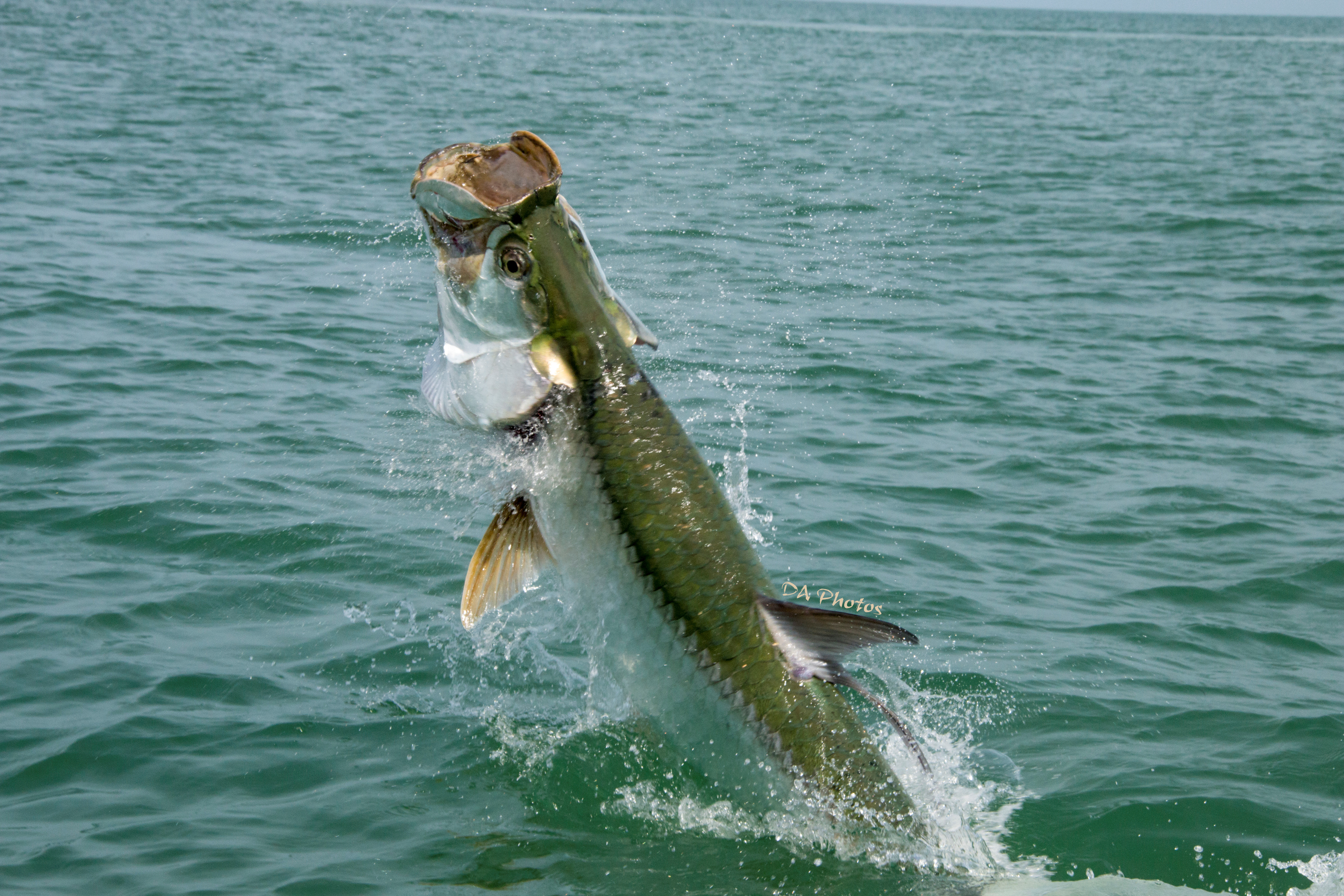 Sanibel fishing charters tarpon sanibel fishing charters for Tarpon fishing charters