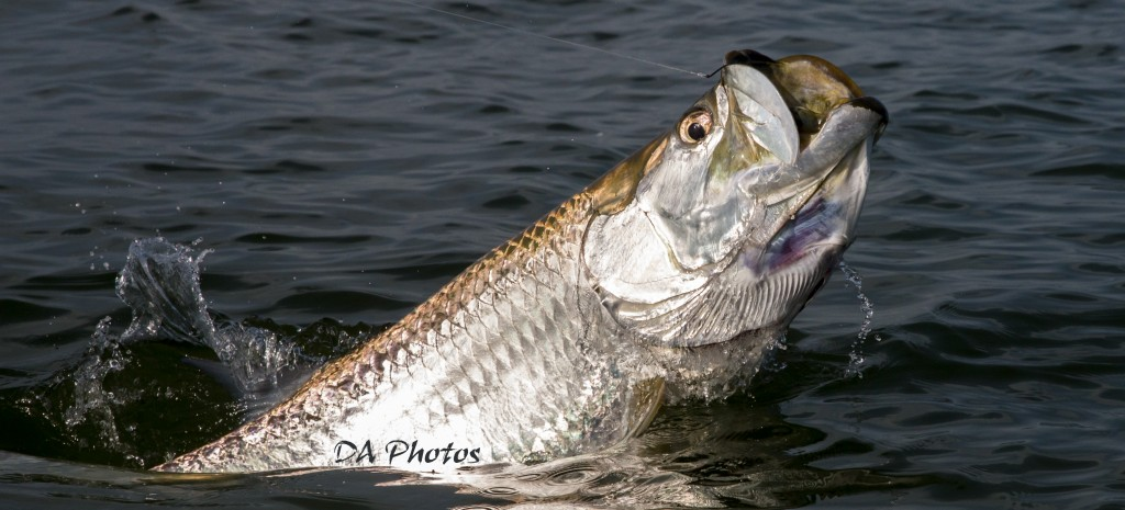 Sanibel island tarpon fishing sanibel fishing charters for Tarpon fishing charters