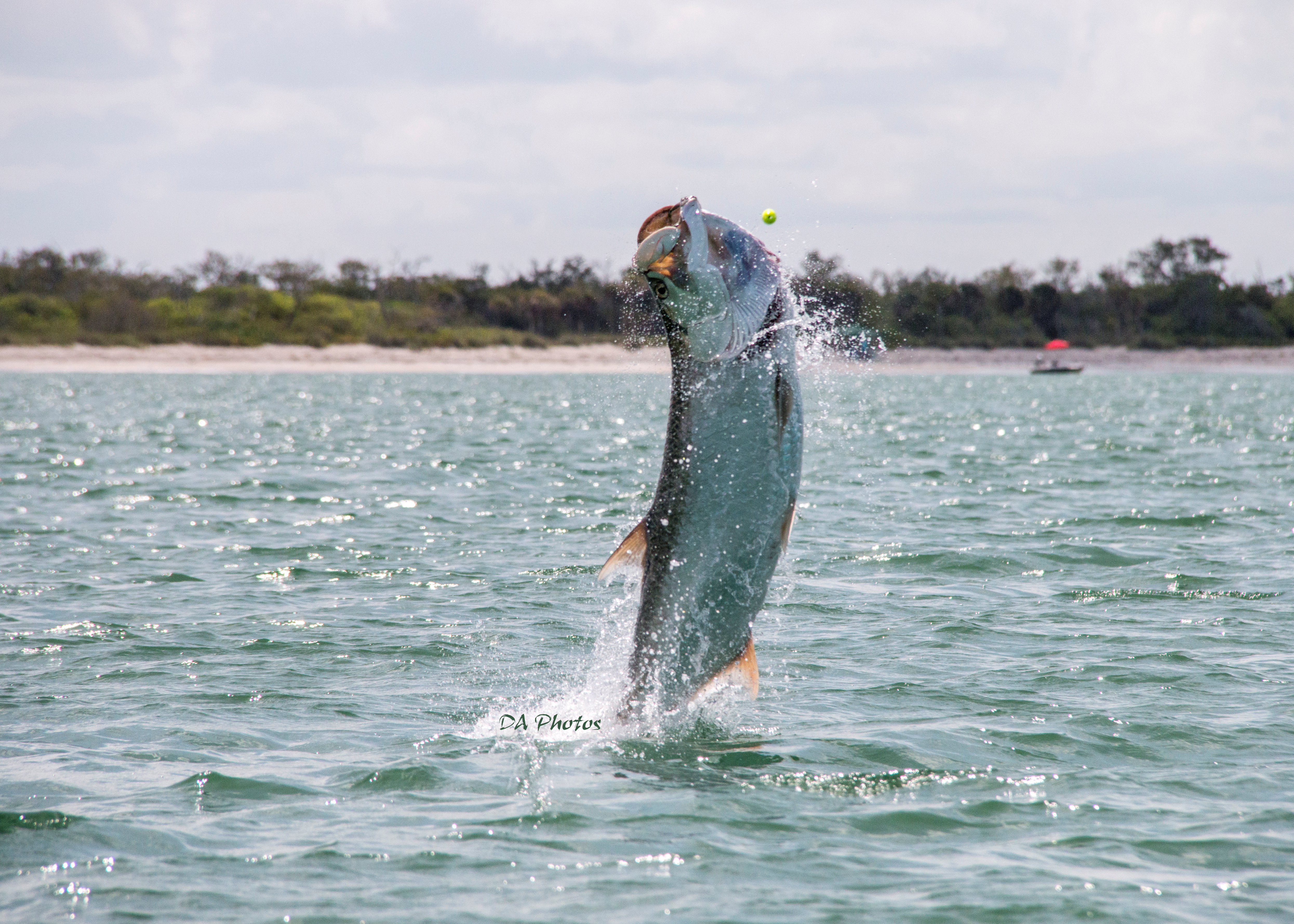 Tarpon fishing charters sanibel fishing charters for Tarpon fishing charters