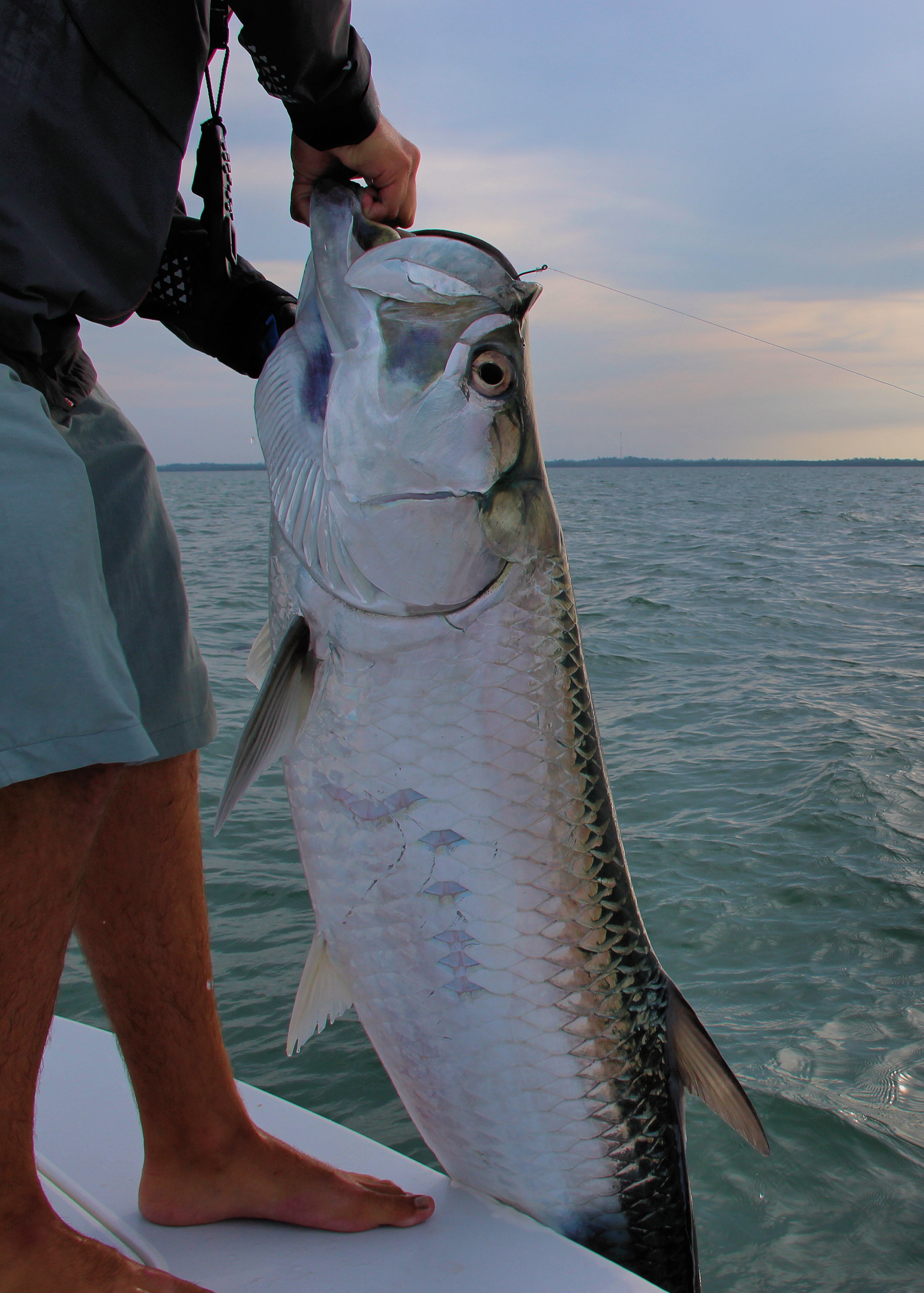 Tarpon fishing sanibel fishing charters for Tarpon fishing charters