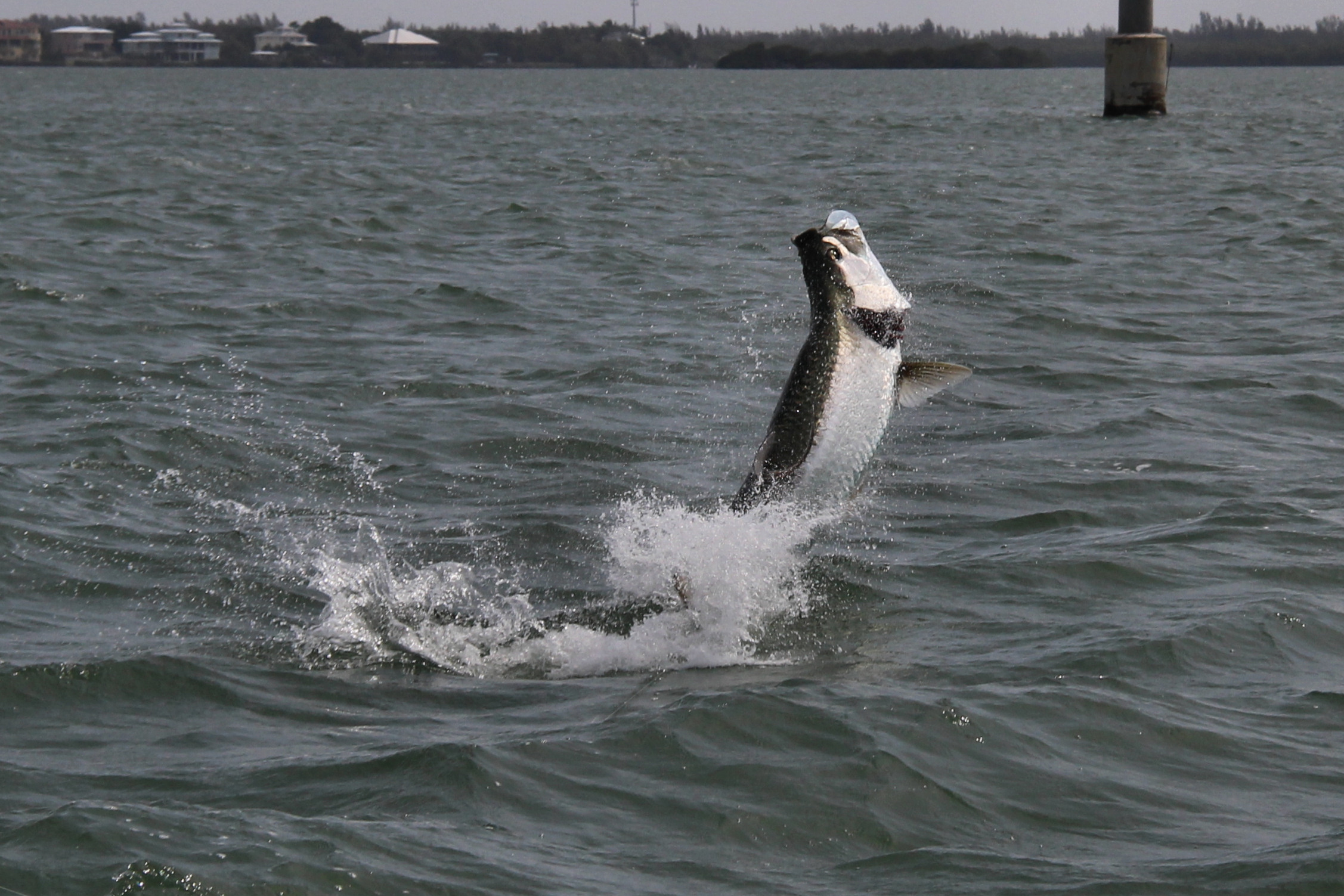 Pine island tarpon sanibel fishing charters for Tarpon fishing charters