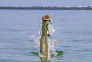 Sanibel Fishing Charters – Tarpon Season Update