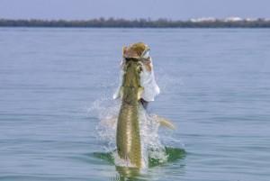 Sanibel Fishing Charters – Tarpon Season Update